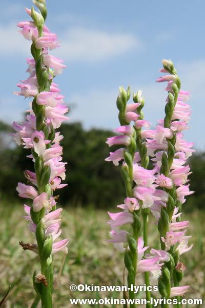 ナンゴクネジバナ(Spiranthes sinensis var. sinensis)