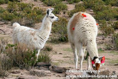 放牧のリャマ@ボリビア