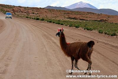 道を横切るリャマ@ボリビア
