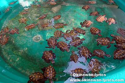 Hawksbill Turtle Rookery@モソ島(Moso island),バヌアツ