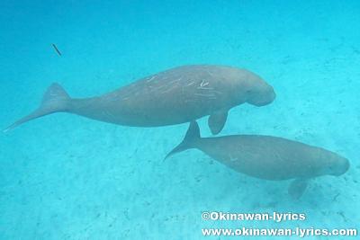 ジュゴンの母子とシュノーケル@マスケリン島(Maskelyne island),バヌアツ