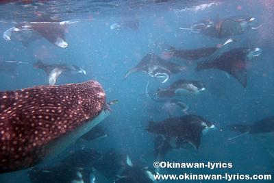 ジンベエザメとマンタとシュノーケル@ハニファルベイ(バア環礁),モルディブ