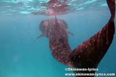 ジンベエザメとシュノーケル@ハニファルベイ(バア環礁),モルディブ