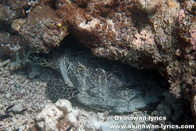 Turtle Reefのウミガメ@ドンファヌ島