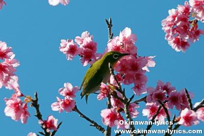 メジロと桜@第41回もとぶ八重岳桜まつり