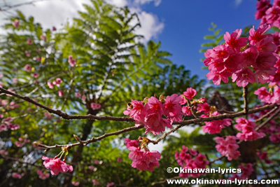 第43回もとぶ八重岳桜まつり