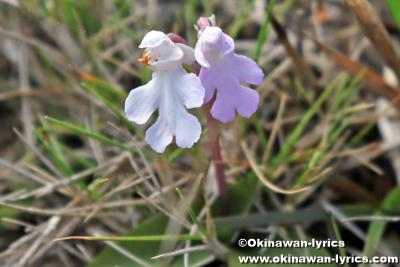 オキナワチドリ(Hemipilia lepida)